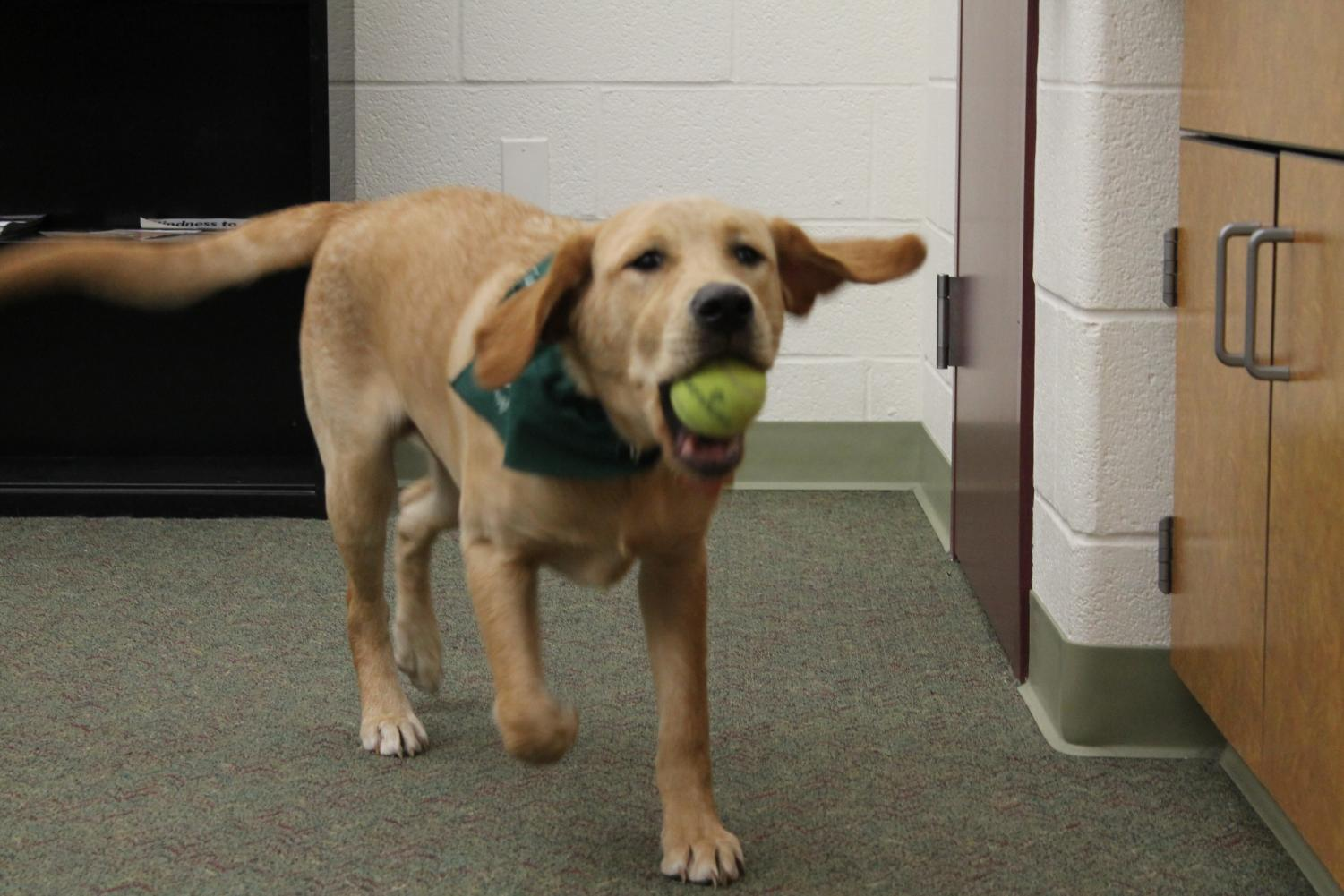 Spike runs with a tennis ball in the HAHS Library